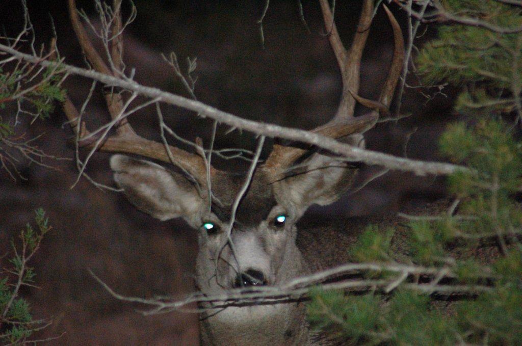Arabela Deer